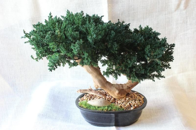 Double Bonsai Sandblasted Forever Green Art Real Preserved Double Monterey Sandblasted Bonsai Mbo010 Sand 149 00 Forever Green Art Preserved Plants For Home And Business
